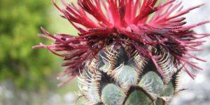 Centaurea grbavacensi