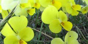 Viola herzogii