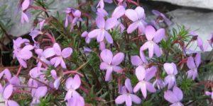 Viola kosaninii